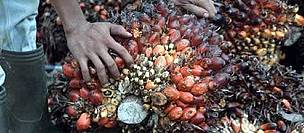 Harvested Palm oil fruits. Riau, Sumatra.