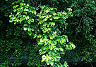 Bright green foliage of the vesi tree. / ©: R. DeMeo