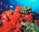 Fiji is famous throughout the world for spectacularly rich and vibrant soft coral reefs, which provide havens and food sources for thousands of species of fish and invertebrates.