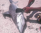 Finning a newly caught Grey Reef Shark.