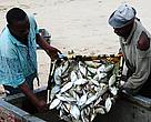 Fishermen on Mafia Island empty their days catch onto a cooler box that will be shipped to Dar es Salaam in Tanzania for sale and consumption.  The Rumaki Seascape programme has been instrumental in preserving the livelihoods of these fishermen and the communities they come from.