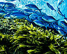 A school of Blue maomao fish