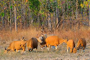 Mondulkiri Protected Forest and Phnom Prich Wildlife Sanctuary are home to the world largest population of banteng, listed by IUCN as globally endangered.