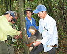 Forest Guards of the Hue Saola NR release a Red-Shanked Douc (Pygathrix nemaeus) caught in a snare.