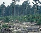 Clearing of tropical rainforest for the paper industry, palm oil, and other plantations in Tesso Nilo, Riau Province, Sumatra, Indonesia.