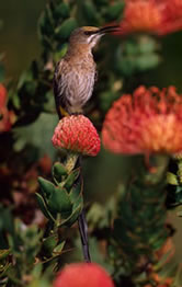 Cape sugarbird, endemic to fynbos region and main pollinator of proteaceae flowers, Republic of ... / ©: WWF / Martin HARVEY
