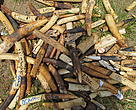 Gabon intends to destroy its entire ivory stockpile to ensure it does not leak into illegal trade.