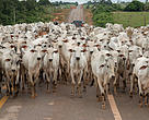 Cattle on the MT-208 road, Mato Grosso, Brazil.  The Migratory Species of the Juruena River Expedition, May 2014.