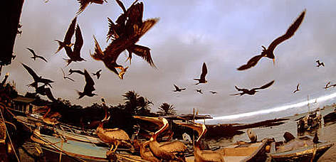 Magnificent Frigatebirds (<i>Fregata magnificens</i>) in flight, and Brown Pelicans ... rel=