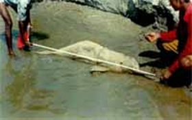 Ganges river dolphin killed as a result of fishing activities.  	© WWF-India