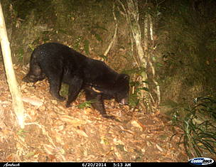 Endangered Asiatic black bear caught on camera