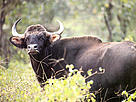 Gaur is the largest wild cattle species in the world. There are 37 gaurs in the Parsa Wildlife Reserve and 296 gaurs in the Chitwan National Park.