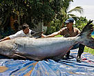 A Giant Mekong catfish caught by local fishermen in Chiang Khong, Thailand, weighed in at 292kg – the largest of its type to be recorded since 1981.