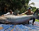 A Giant Mekong Catfish was caught in Chiang Khong, northern Thailand, on 1 May 2005 by local fishermen.  It's the largest Giant Catfish in the record since 1981, weighing 292 kg.