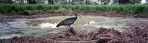 A rare photograph of the giant ibis, caught by a camera trap rel=
