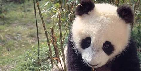 Di Di, an 8 months old male Giant panda, born 5.10.1994 in Wolong, China. Project number: CN0005. rel=