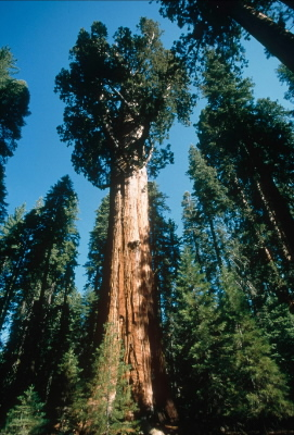 "Giant redwood ""Gen. Sherman"", the World's largest tree, Sequoia National Park, ... / ©: WWF-Canon / Edward PARKER"