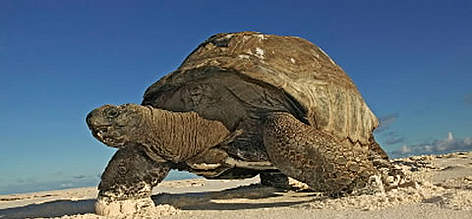 Aldabra giant tortoise (<i>Geochelone gigantea</i>) walking on the beach, Cousine ... rel=