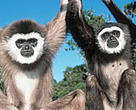White-handed gibbons, one of seven gibbon species under threat in Indonesia.