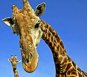 Cape or Southern Giraffe (<i>Giraffa camelopardalis giraffa</i>). Adult males can be 18 ... / ©: WWF / Martin HARVEY