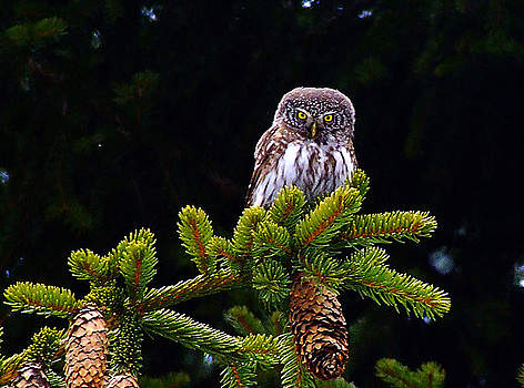 Glaucidium in a Bulgarian forest rel=