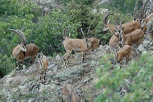 Group of Bezoar Goats in Gnishik Protected Landscape