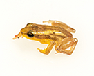 The Kaieteur Golden Rocket Frog. This tiny frog lives its entire life in the Giant Tank Bromeliad also found in the Potaro area.