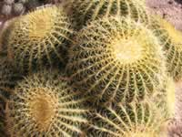 Nursery-grown Golden Barrel Cactus (Echinocactus grusonii), Tucson, Arizona, US.