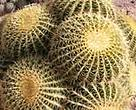 Nursery-grown Golden Barrel Cactus (<I>Echinocactus grusonii</I>), Tucson, Arizona, US.