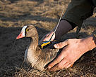 A lesser white-fronted goose being fitted with a satellite transmitter.