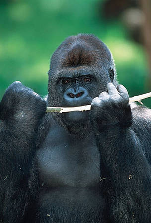 Gorilla Fighting Other Animals Oover 100 fruit species have