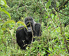Habituated silverback mountain gorilla
