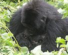 Mother gorilla Ruvumu with her twins, a boy and a girl