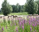Konik horses grazing at Gelderse Poort, the Netherlands