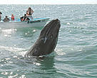 Gray whale (<i>Eschrichtius robustus</i>) surfacing, tourists watching from small b