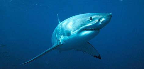 Great white shark (<i>Carcharodon carcharias</i>. rel=