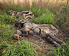 Hundreds of elephants were killed by foreign poachers in northern Cameroon over a few short months in early 2012.