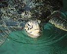 Green turtle, one of the ten selected marine species for the new WWF Hong Kong education programme.