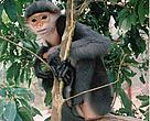 The beautiful grey-shanked douc is one of the world's most endangered primates.