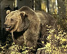 Grizzly bear (<i>Ursus arctos horribilis</i>), a key species in the Mackenzie Valley.