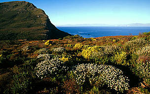 Mountain fynbos endemic vegetation of the Cape floral kingdom Cape Peninsula National Park, Western ...      © WWF / Martin HARVEY