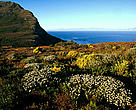 Mountain fynbos endemic vegetation of the Cape floral kingdom Cape Peninsula National Park, Western Cape, Republic of South Africa.