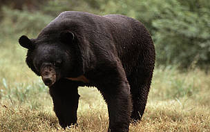 Himalayan or Asiatic black bear (Ursus thibetanus).