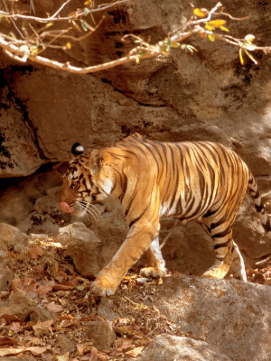 Indian tiger (Panthera tigris tigris), walking on rock cliffs. Bandhavgarh National Park, Madhya Pradesh, India.