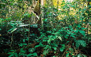 Buttress tree in the tropical rain forest, Acre State, Brazil.