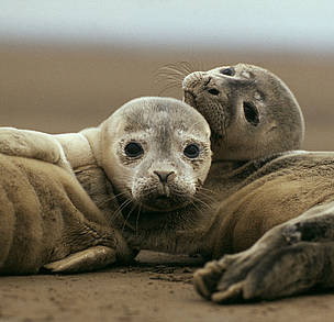 Young common (or harbour) seals (<i>Phoca vitulina</i> on sand beach. Wadden Sea, ... / ©: WWF / Jan VAN DE KAM