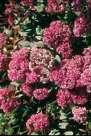 Sedum evers, an endemic medicinal plant of the Altai  	© Hartmut Jungius/ WWF Netherlands