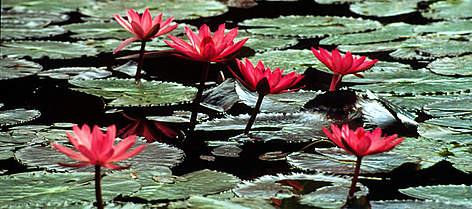 Water lilies (<i>Nymphaea</i>), Hawaii, United States of America. rel=