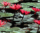 Water lilies (<i>Nymphaea</i>), Hawaii, United States of America.