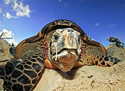 Hawksbill turtle (<i>Eretmochelys imbricata</i>). The metabolism, life cycle, and ... / ©: WWF /  Martin HARVEY